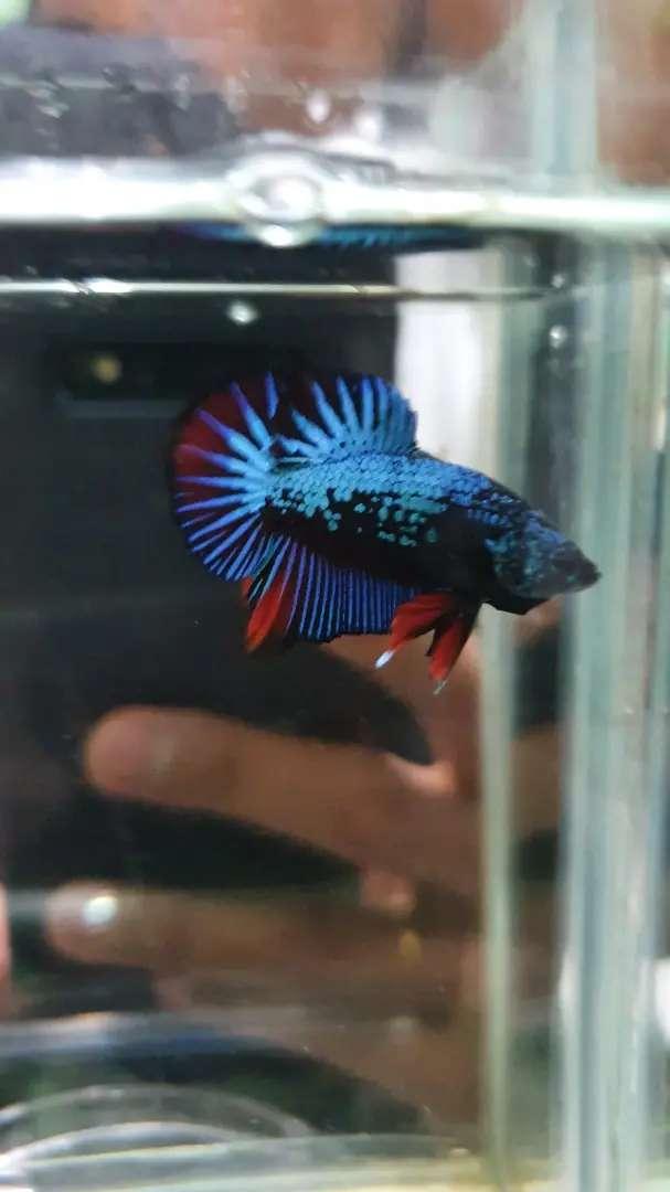 Ikan Cupang Avatar Avatar Gordon Hewan Peliharaan 805966249