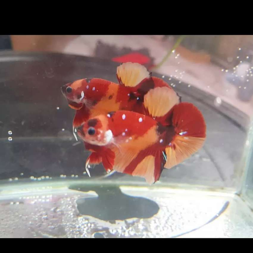 Ikan Cupang Nemoxy Hewan Peliharaan 806468075