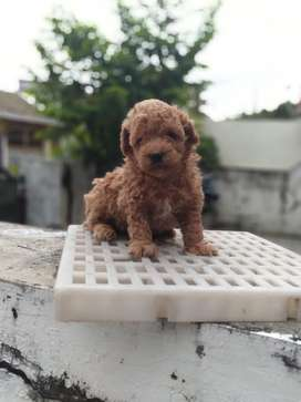 20+ Jual anjing mini poodle terbaru
