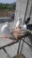 Black Tail Male Red Tail Female Breeder Pair