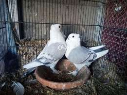 Satinetti Breeders with chick