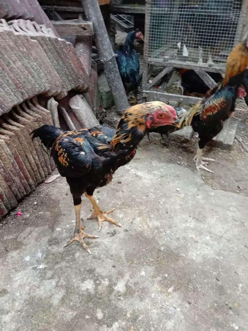 Ayam Jantan Dan Betina Hewan Peliharaan 796538844