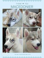 Wooly Siberian Husky View All Ads Available In The Philippines