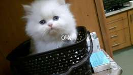 Persian kittens male only 2..