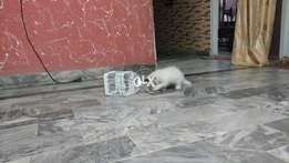 Persian Cat (male) for sale