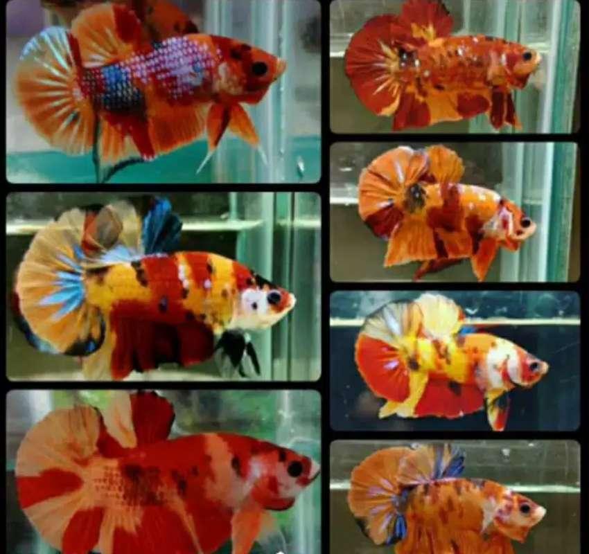 Blue Rim Jenis Ikan Cupang Avatar