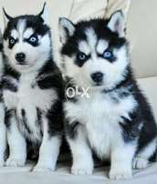 Puppies on Hazir Stock imported Malamute supreem Quality F/S