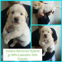 Golden Retriever Female View All Ads Available In The Philippines