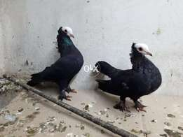 Black munkhiii breeder pair