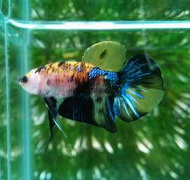 Ikan Cupang Olx