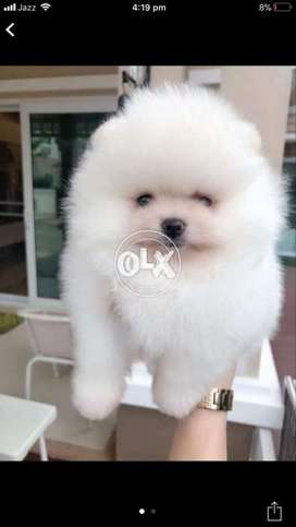 Puppies Pomeranian In Punjab Olx Com Pk