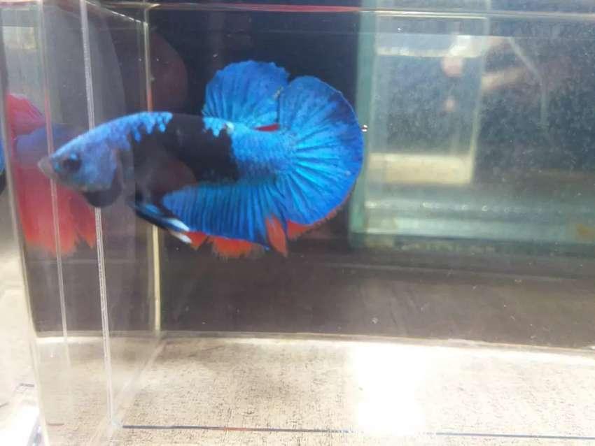 Ikan Cupang Hias Bbl Avatar Murah Meriah Sepair Sepasang Hewan Peliharaan 808399135