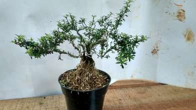 tanaman hias bonsai mini