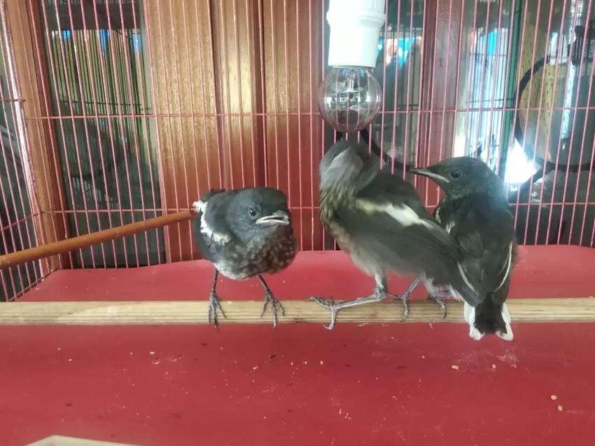 Anak Burung Kacer Harga Per Ekor Hewan Peliharaan 797001193