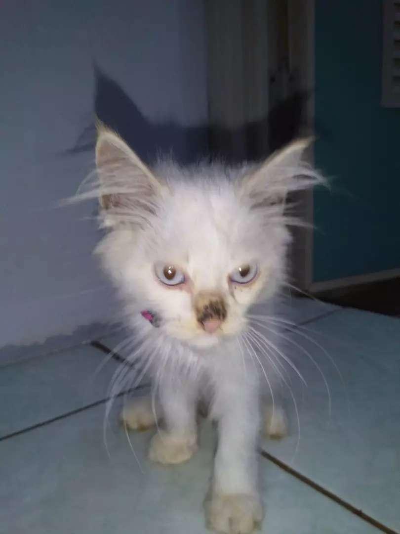 Kucing Persia Umur 3 Bln Hewan Peliharaan 770947087