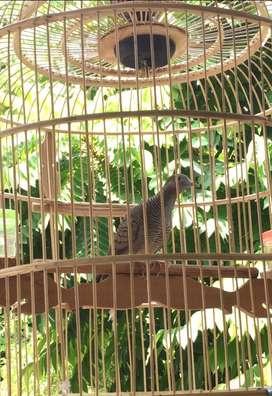 Perkutut Jual Hewan Peliharaan Burung Terlengkap Di Mojokerto Kota Olx Co Id