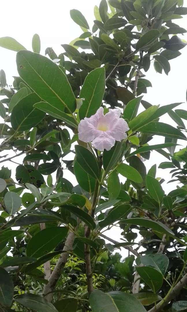 Jual Pohon Tabebuya Bunga Pink Daun Kecil Ukuran Tinggi 2 Meter Konstruksi Dan Taman 752497753