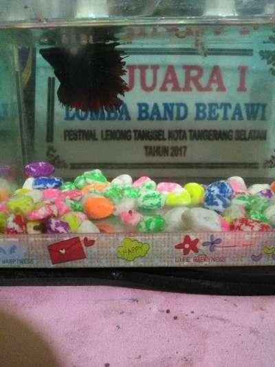 Ikan Cupang Aquarium Nya Hewan Peliharaan 803818291