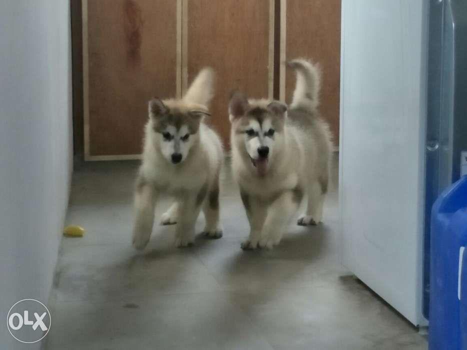 Re Price 35k Alaskan Malamute Puppy Male And Female U S Giant Neg