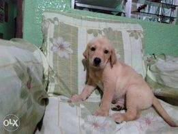 Golden Retriever New And Used Dogs For Sale In Cebu Olx Ph