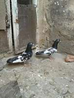 Pigeon For Sell