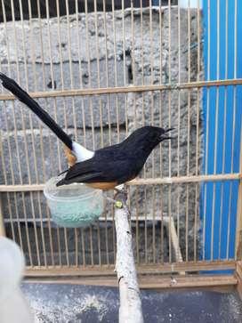 Jual Ring Jual Hewan Peliharaan Burung Terlengkap Di Jakarta Timur Olx Co Id