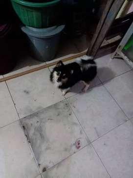 19+ Harga anjing mini pom medan terbaru