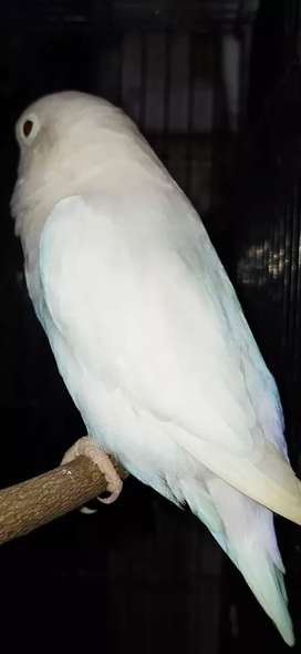 Mh Jual Hewan Peliharaan Burung Terlengkap Di Semarang Kota Olx Co Id