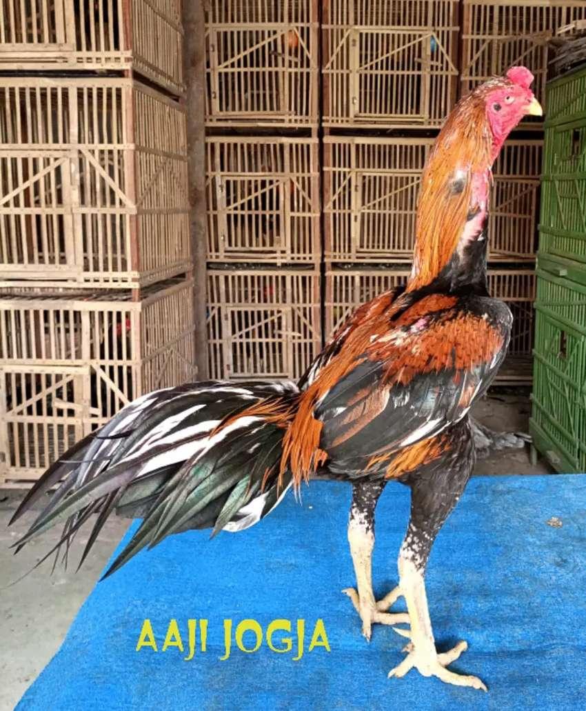 Ayam Bangkok Wiring Kuning Tembus Ules Langka Super Jalu Hewan Peliharaan 792363398