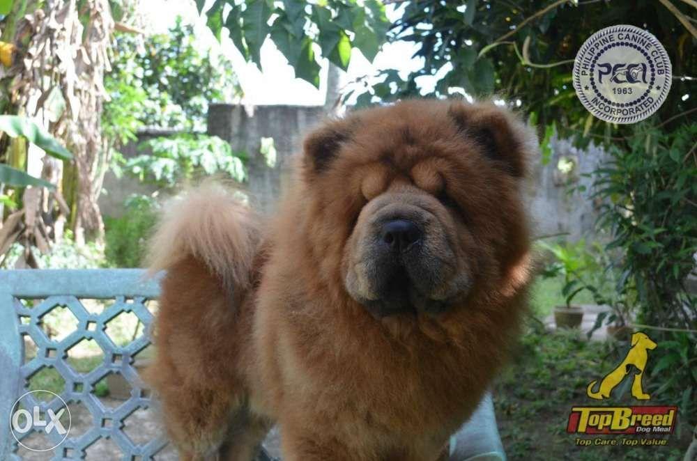 Alaskan Malamute Usa Chow Chow Tha Pomeranian Usa Stud Service In