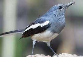 Kacer Betina Jual Hewan Peliharaan Burung Terlengkap Di Indonesia Olx Co Id