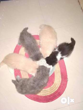 Pets For Sale In Chennai Olx