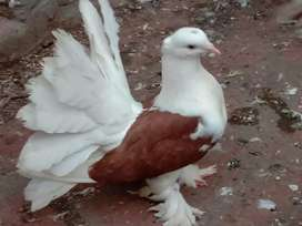 American Pigeon Animals For Sale In Lahore Olx Com Pk