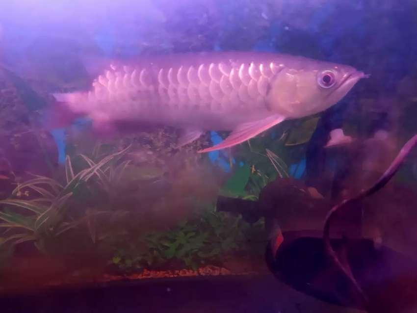 Ikan Arwarnaa Uk 35 25 Cm Sehat Lincah Makan Lancar Hewan