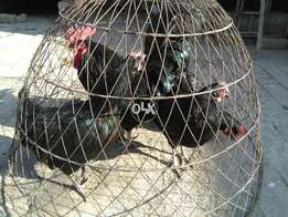 Australorp Chickens 3 Females & 1 Male Available