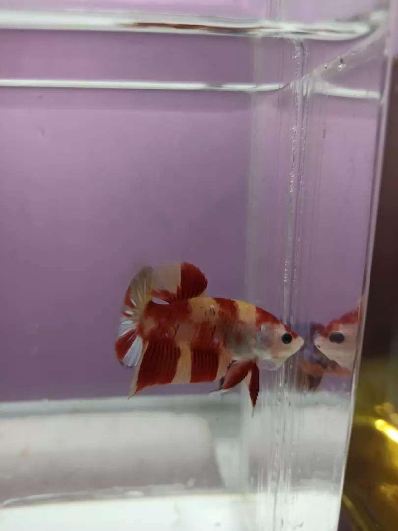 Ikan Cupang Plakat Nemoxy Hewan Peliharaan 808809904