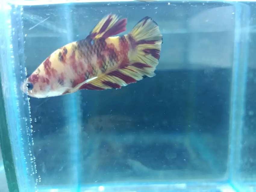 Ikan Cupang Nemo Leopard Hewan Peliharaan 806844013
