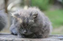 Persian grey triple coated kitten