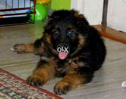 New imported Puppy Black Mask Huge Bigest Size F/S