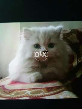 American Cats Animals In Punjab Olx Com Pk