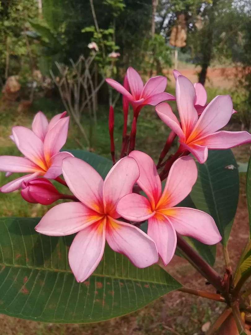 Pohon Bunga Kamboja Ping Konstruksi Dan Taman 753492083