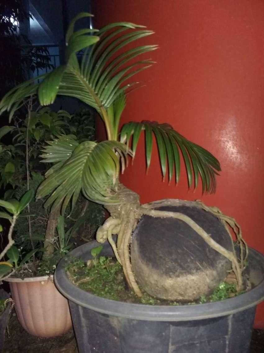 Bonsai Kelapa Pecah Daun Dekorasi Rumah 782031120