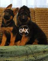 This is a Class in Long Haired For Long Cort Lovers imported Pupps F/S