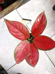 aglaonema red venus