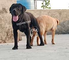 Labrador huge male avalible for matting service