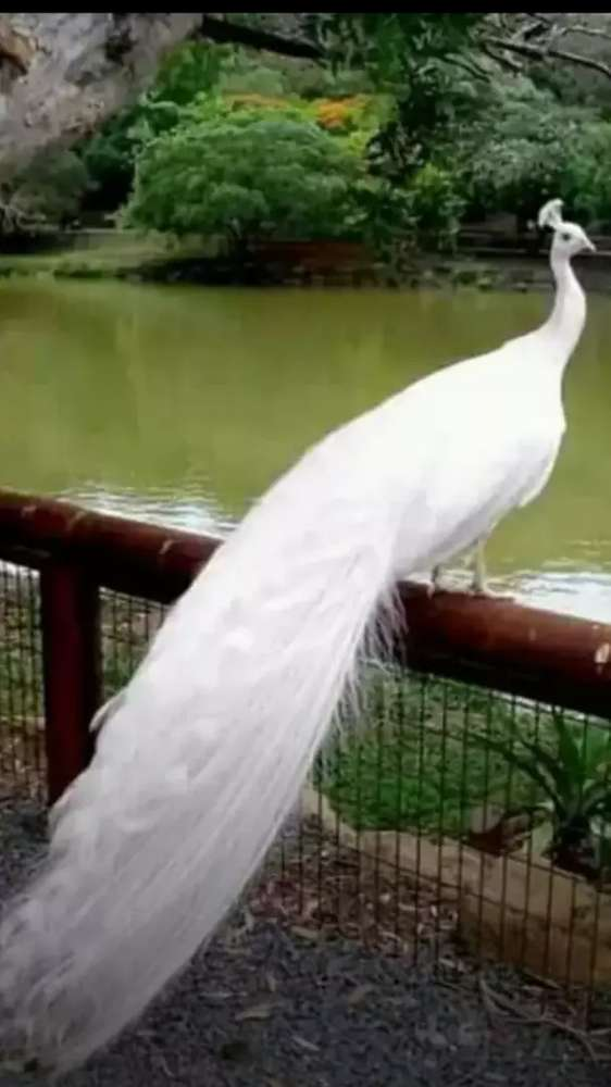 Peacock - Birds for sale in Lahore | OLX com pk
