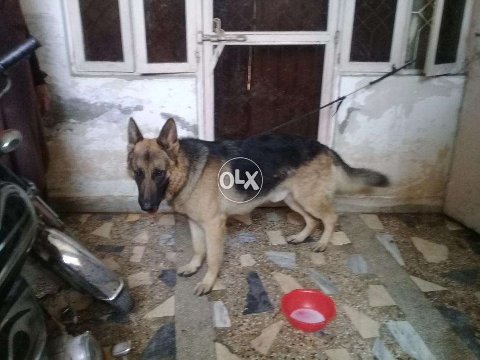 Energian Saasto—These German Shepherd Dog Price In India Olx