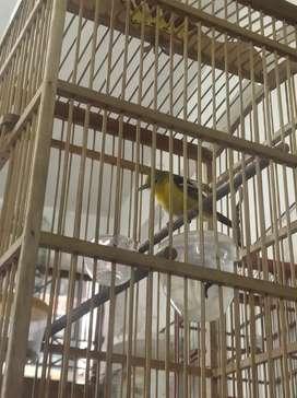 Sirtu Jual Hewan Peliharaan Burung Terlengkap Di Indonesia Olx Co Id