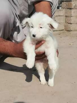 Dog And Puppies Other Breeds In Islamabad Olx Com Pk
