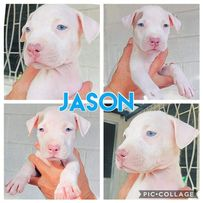 Dog Dogo Argentino For Sale Philippines
